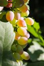 Golden grapes Royalty Free Stock Photo
