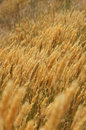 Golden grasses coloured blowing in summertime breeze Royalty Free Stock Images