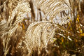 Golden grasses garden catching the low winter light Royalty Free Stock Image