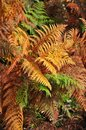 Golden and green ferns in autumn in forest Stock Images