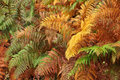 Golden and green ferns in autumn in forest Stock Photos