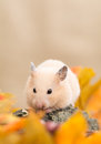 Golden hamster in autumn and fallen leaves Stock Images