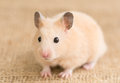 Golden hamster close up of cute Royalty Free Stock Image