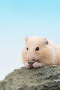 Golden hamster eating sunflower seed syrian on a rock Stock Photography