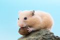 Golden hamster eating sunflower seed syrian on a rock Royalty Free Stock Photo