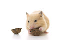Golden hamster eating walnut isolated on white background Stock Photos
