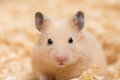 Golden hamster face a close up of syrian on wood chips Royalty Free Stock Image