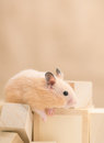Golden hamster grooming playing with building blocks Stock Image