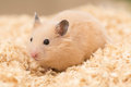 Golden hamster grooming on wood chips Stock Images