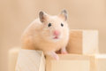 Golden hamster playing with building blocks Stock Photography