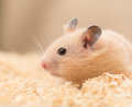 Golden hamster s face cute on wood chips Stock Photo