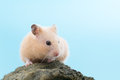 Golden hamster syrian on a rock Stock Image
