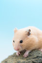 Golden hamster syrian on a rock Royalty Free Stock Images
