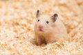 Golden hamster syrian on wood chips Stock Image