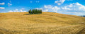 Golden harvest fields with cypress trees val d orcia tuscany italy scenic landscape and the famous group of on top of a hill on a Royalty Free Stock Photo