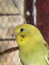 Golden headed budgie fledgling a close up view of a Royalty Free Stock Images