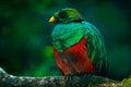 Golden-headed Quetzal, Pharomachrus auriceps, Ecuador. Royalty Free Stock Photo