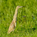 Golden heron ardeola ralloides in natural habitat Stock Photography