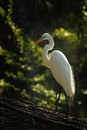 The golden heron a white standing on a log in shadows with sun on it s back Stock Images