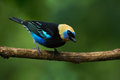 Golden hooded tanager colorful posing on a branch costa rica Royalty Free Stock Photography