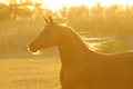 Golden horse in sunset, runs gallop Royalty Free Stock Photos