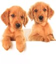 Golden irish puppies a red retriever puppy a hybrid between a retriever and an setter Stock Photos