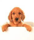 Golden irish puppy a red retriever a hybrid between a retriever and an setter Royalty Free Stock Image