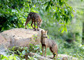 Golden Jackal Asiatic Jackal Canis aureus Royalty Free Stock Photo