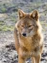 Golden jackal (Canis aureus) Royalty Free Stock Photo
