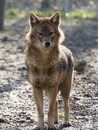 Golden jackal (Canis aureus) Royalty Free Stock Photo