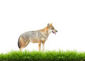 Golden jackal with fresh green grass isolated on white background Stock Image