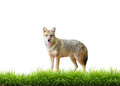 Golden jackal with fresh green grass isolated on white background Stock Images