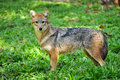 Golden jackal on the grass green Royalty Free Stock Image