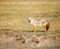 Golden jackal in wildlife on tanzania Royalty Free Stock Image
