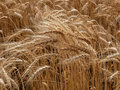 Golden Kansas Wheat Stock Photos