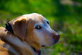 Golden lab against a green background Royalty Free Stock Photo