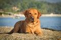 Golden labrador Royalty Free Stock Photo