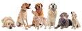 Golden and labrador retriever Royalty Free Stock Photo