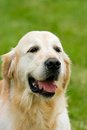 Golden Labrador Retriever. (Copy Space.) Royalty Free Stock Images