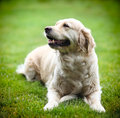 Golden labrador retriever on green grass Stock Images