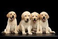 Golden Labrador Retriever puppies isolated on black background Royalty Free Stock Photo