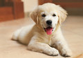 Golden labrador retriever puppy indoor Royalty Free Stock Image