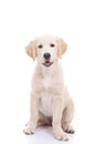 Golden labrador retriever puppy sitting with white background Stock Photography