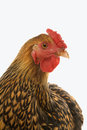 Golden Laced Wyandotte chicken Royalty Free Stock Image