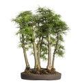 Golden larch bonsai tree pseudolarix amabilis isolated on white Royalty Free Stock Images