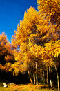 Golden larch leaves became to in autumn Royalty Free Stock Photos