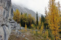 Golden larches Royalty Free Stock Photo