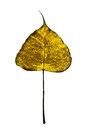 Golden leaf Stock Image