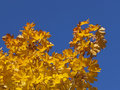 Golden leaves and blue sky Royalty Free Stock Image