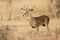 Golden light on nice typical whitetail buck Royalty Free Stock Photo
